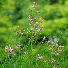 'Lavender Mist' meadow rue - FineGardening