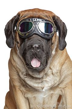 Mastiff in Vintage Motorcycle Goggles.