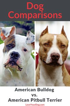 Comparing the American Bulldog vs. the Pitbull Terrier for your next pup? Learn the differences between the two and what you can expect from each breed. American Bulldog Puppies, American Pitbull, American Bulldogs, Dog Comparison, Bulldog Names, R Dogs, Pitbull Terrier, Beautiful Dogs, Pit Bull