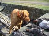 I love my Red. He has his eye on that Canvasback. Shows good taste in ducks.