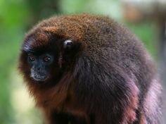 Coppery Titi | Coppery Titi Monkey