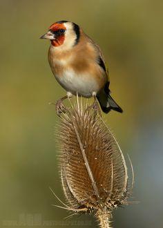 Goldfinch by Albi748 on DeviantArt
