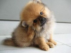 Miniature Teacup Pomeranian Puppy
