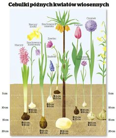 Znalezione obrazy dla zapytania jak gleboko sadzic cebulki
