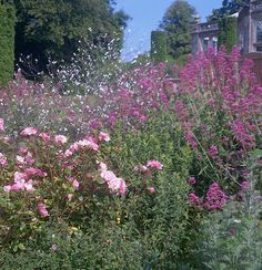 Roses, crambe cordifolia and valerian. Wiston House. West Sussex. July 2013
