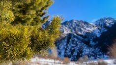 beautiful pine needles samsung note5 hd wallpaper download