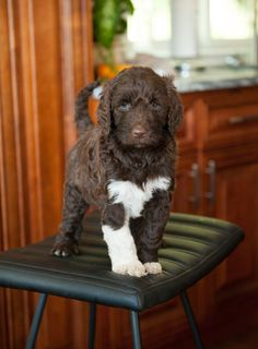 Parti labradoodle puppy