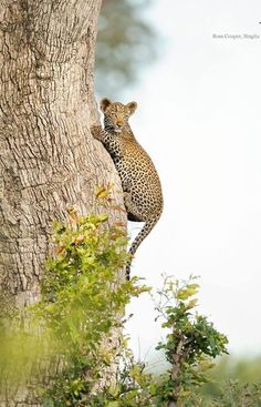 Young leopard climbing a tree at Singita Big Cats, Cool Cats, Cats And Kittens, Beautiful Cats, Animals Beautiful, Baby Animals, Cute Animals, Wild Animals, Spotted Cat