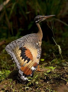Sunbittern. Birds of Northwest Ecuador: the Chocó - Dušan Brinkhuizen