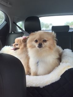 Loving that backseat breeze! #dogs #pets #Pomeranians Facebook.com/sodoggonefunny
