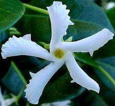 star_jasmine_flower.jpg