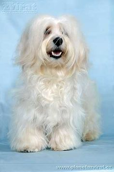 When I was four we got a dog that looked very similar to this one. It must have been a Bichon Havanaise too.