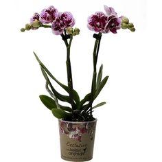 Kolibri orchid 2tak el salvador Orchids, El Salvador, Lilies, Orchid