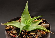Aloe viguieri H.Perrier