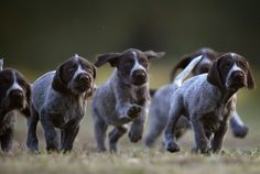 nice family of german shorthair pointers  having a wonderful time together  love these dogs, but mine is an all liver color
