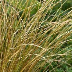 Carex comans Milk Chocolate - Laîche Cyperus Papyrus, Stipa, Pots, Plantation, Border Design, Carex, Milk, Herbs, Leaves