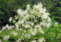 TALL MEADOW RUE: (Thalictrum pubescens, formerly Thalictrum polygamum). This photograph was taken at Brady's Run County Park in Beaver County, PA, July 27, 2014.
