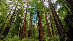 Future forests to be smaller, less majestic. California's giant trees — including its showstopping sequoias and redwoods — are growing smaller under climate pressure.