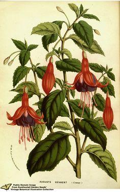 Fuchsia hort. cv. Auguste Gevaert - Flore des serres et des jardins de l'Europe v.13 (1858)