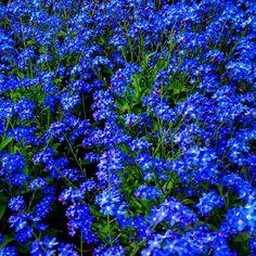 Just Blue  #keukenhof #holland #jj #ubiquography #flower #jj_forum #dutch #igersholland #tulipfieldsexperience - @alanisko- #webstagram