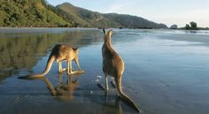 Roos on a Queesland beach, Australia