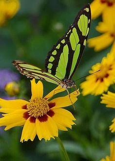 Malachite Butterfly by Rick Bures
