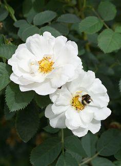 Rosa alba semiplena with bee [a darling bee!]