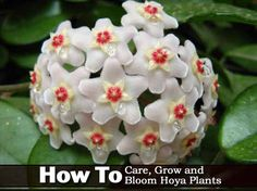 How To Grow, Care For And Bloom Hoya Plants