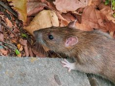 Get rid of nuisance rats in your home and business quickly and safely with our excellent same day rat control service. Getting Rid Of Rats, Brown Rat, Rat Control, Black Rat, Pest Control Services, Rodents, Bristol, Squirrel, Bait