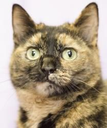 Reese (SAR 210) is an adoptable Tortoiseshell Cat in Manassas, VA. I was found out on my own on Marumsco Drive - that's no place for a pretty kitty like me! I'm a beautiful tort girl, around 1-2 year...