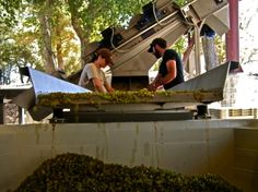 No pain, no gain - the long, tedious, but important task of sorting each berry and cluster (including on the whites), before putting into a fermentation tank.