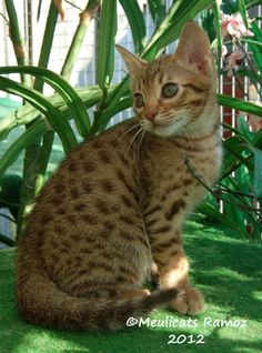 Ocicat Kitten   Cattery Meulicats   www.meulicats.nl imagine the color change. Lily as a ginger?