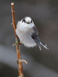 Gray Jay - Algonquin Park by Jim Cumming on 500px