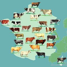 Différentes espèces de #viande de #boeuf en France Agriculture, Breeds Of Cows, Wine Folly, Cow Parade, Holstein Cows, Cultura General, France Map, Cattle, Farm Animals
