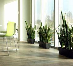 officeplant.pl rośliny do biura. sansevieria