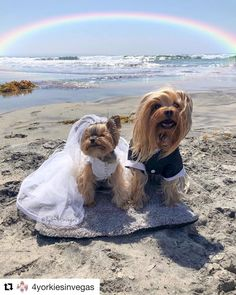 Bride & groom yorkies