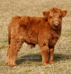 We've gathered our favorite ideas for Highland Calf So Cute Highland Cows Vacas Vacas Y, Explore our list of popular images of Highland Calf So Cute Highland Cows Vacas Vacas Y. Cute Baby Cow, Baby Cows, Cute Cows, Baby Elephants, Baby Highland Cow, Highland Calf, Scottish Animals, Scottish Highland Cow, Fluffy Cows