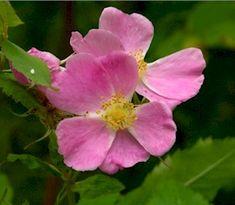 Rosa gymocarpa (Little Wild Rose) - prefers shady, moist, but not waterlogged, found in open conifer forests - The Wild Garden: Hansen's Northwest Native Plant Database