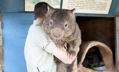 Conoce a Patrick, el mayor Wombat en edad y tamaño del mundo #Wombat   #CienciayOrigen   #Patrick   #Australia   #Zoo   #AnimalesCautividad