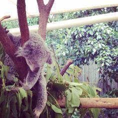 Koalas :)
