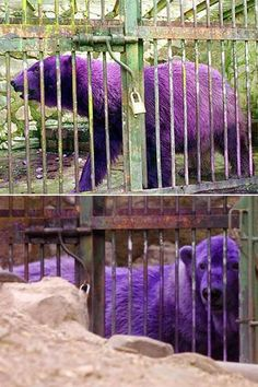 the purple polar bear, this bear had a skin condition that the zoo officials were trying to treat and as a result the treatment turned the bear purple, the color only lasted a little while but the news spread across the world via the internet