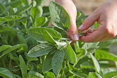 Frische Kräuter trocknen - Tipps & Tricks @ diybook.at Kraut, Planting Flowers, Plant Leaves, Herbs, Tips, Plants, Finger, Yum Yum, Training