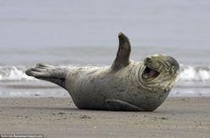 Großartig: Die Daily Mail zeigt lachende Robben!