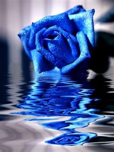 Blue Roses | Blue Rose: 2011 Fallen Heroes In Blue