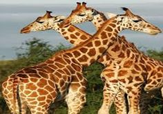 Giraffes: One of the most unique attractions in Murchison falls National park , Uganda. www.afrikatur.org,  info@afrikatur.org