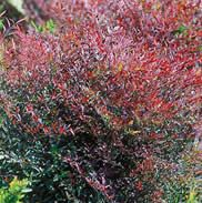 Nandina 'Plum Passion' -- LOVELY! Stays green all summer, lovely red in the fall and winter, then spring berries. Nice touch.