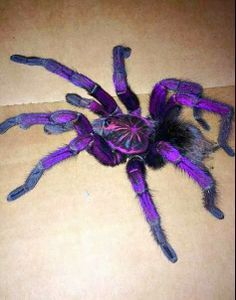 Purple Tarantula