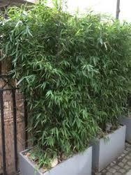 Bambusa metake ou Pseudosasa japonica - Bambuzinho de jardim - espécie ornamental, de textura semi-lenhosa e porte arbustivo que se espalha rapidamente, podendo ser uma planta invasora. As hastes atingem de 2 a 4 metros de altura. Deve ser cultivado sob sol pleno ou meia sombra.