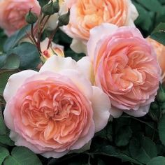 Perdita ® (Ausperd) Category English Roses (English Rose Collection) Bred By David Austin Color Light Pink Flower Type Double/Full Bloom . Light Pink Flowers, Pretty Flowers, Beautiful Roses, Beautiful Gardens, David Austin Rosen, Bed Of Roses, Ronsard Rose, Old Rose, Coming Up Roses
