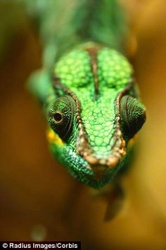 Scientists think a chameleon's brain can coordinate its eyes to help them focus on prey, even though they move independently (stock image)